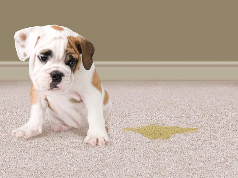 How To Remove Pet Odors From Carpet